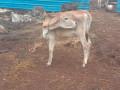 15-bottle-milk-cow-sale-jaffna-small-1
