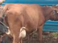 15-bottle-milk-cow-sale-jaffna-small-0