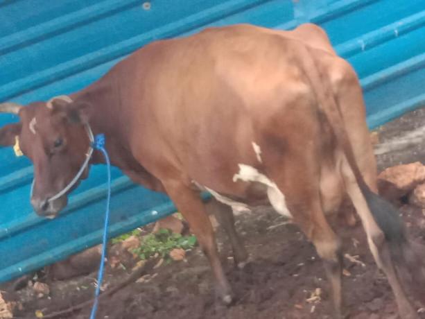 15-bottle-milk-cow-sale-jaffna-big-3