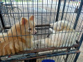 pocket-dog-pair-for-sale-small-1