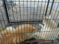 pocket-dog-pair-for-sale-small-0