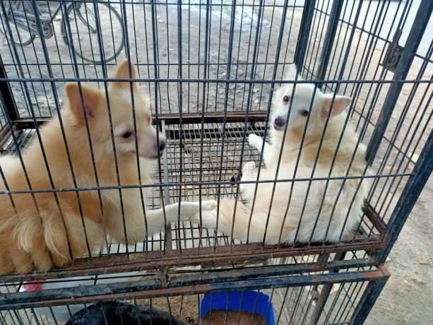 pocket-dog-pair-for-sale-big-3