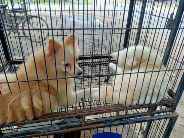 pocket-dog-pair-for-sale-big-1