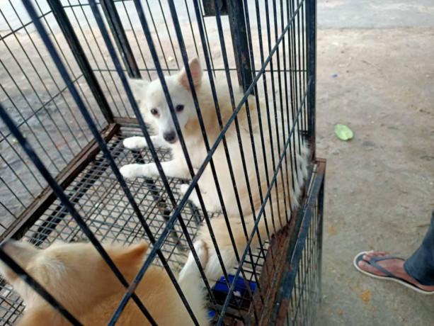 pocket-dog-pair-for-sale-big-2