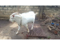sanal-male-goat-for-sale-small-0
