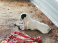 goat-sales-in-jaffna-small-1