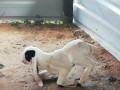 goat-sales-in-jaffna-small-2