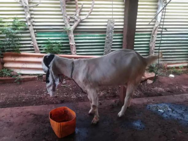 goat-sales-in-jaffna-big-0