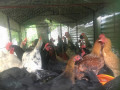 country-chicken-for-sale-small-1