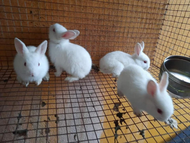 rabbit-for-sale-in-mullaitivu-big-1