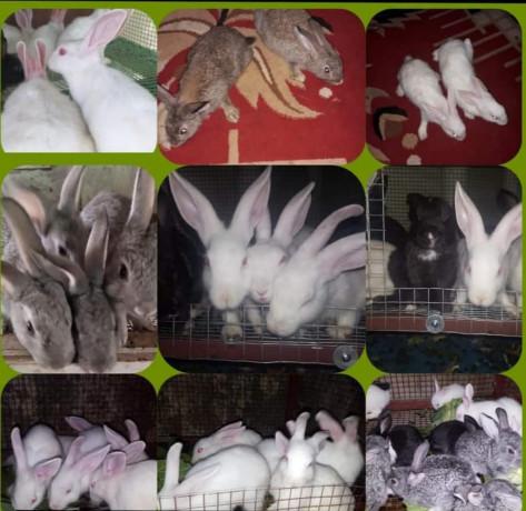 rabbit-for-sale-in-mullaitivu-big-2