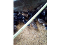 country-chickens-for-sale-small-1