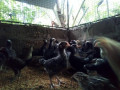 country-chickens-for-sale-small-0