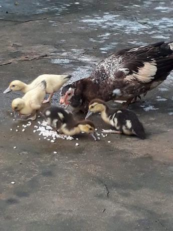 duck-for-sale-in-jaffna-big-1