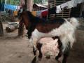 goat-kidai-for-sale-in-vavuniya-small-2