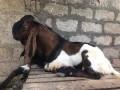 goat-kidai-for-sale-in-vavuniya-small-0