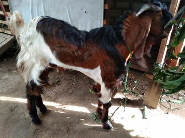 goat-kidai-for-sale-in-vavuniya-big-1