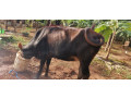 cow-for-sale-in-jaffna-small-0