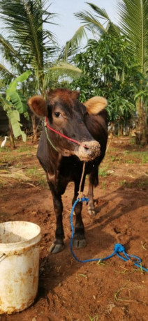 cow-for-sale-in-jaffna-big-1