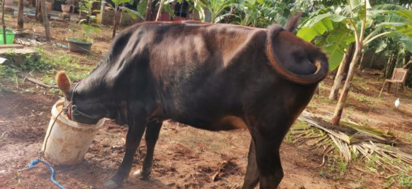 cow-for-sale-in-jaffna-big-0