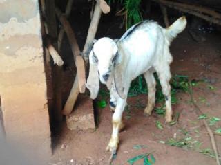 Goat for sale in jaffna