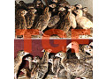 guinea-hen-sale-in-muhamalai-small-0