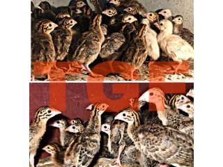 Guinea hen sale in muhamalai