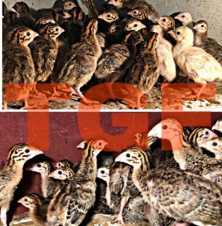 guinea-hen-sale-in-muhamalai-big-0