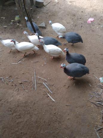 guinea-hen-sale-in-mallavi-big-0