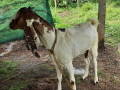5-goats-for-sale-in-jaffna-small-4