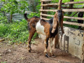 5-goats-for-sale-in-jaffna-small-1