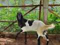 5-goats-for-sale-in-jaffna-small-2