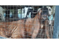 male-goat-for-sale-in-jaffna-small-0