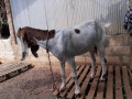 goats-for-sale-in-jaffna-small-3