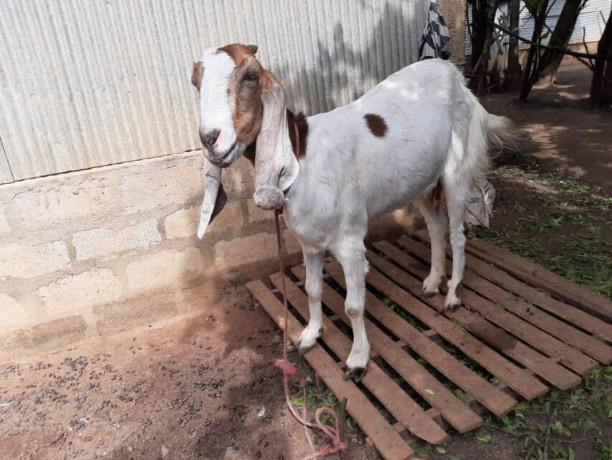 goats-for-sale-in-jaffna-big-0