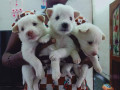 pomeriyan-dogs-for-sale-small-0
