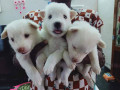 pomeriyan-dogs-for-sale-small-2
