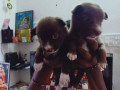 pomeriyan-dogs-for-sale-small-1