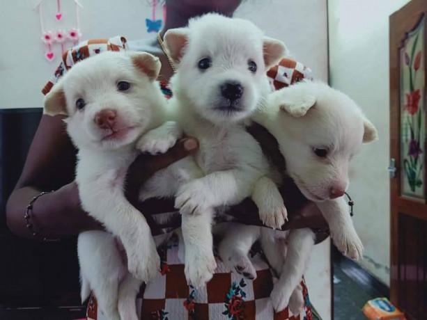 pomeriyan-dogs-for-sale-big-0