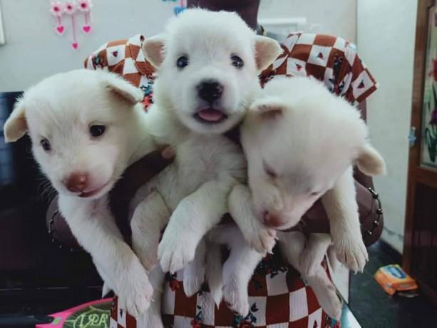 pomeriyan-dogs-for-sale-big-2
