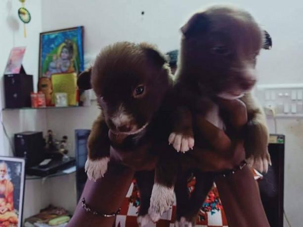 pomeriyan-dogs-for-sale-big-1