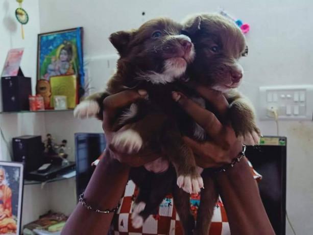 pomeriyan-dogs-for-sale-big-3