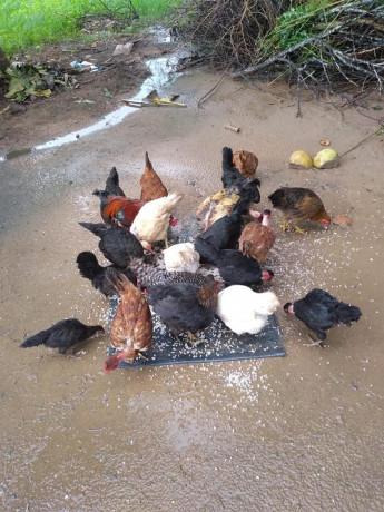 country-hen-sale-in-kilinochchi-big-2