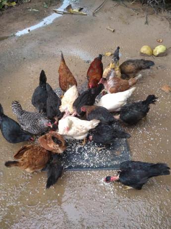 country-hen-sale-in-kilinochchi-big-0
