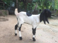 goats-for-sale-in-jaffna-achchuveli-small-1