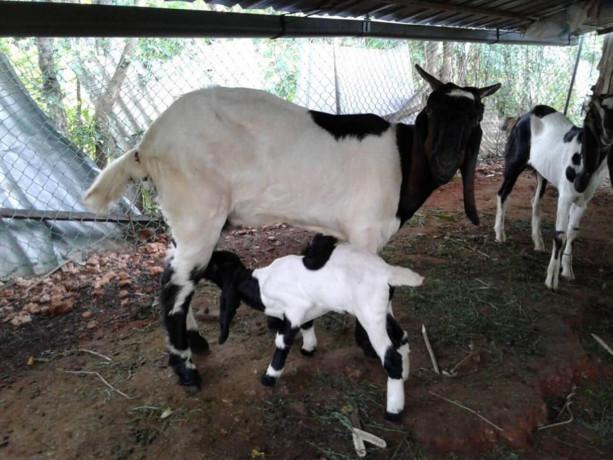 goats-for-sale-in-jaffna-achchuveli-big-0