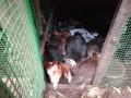 country-hen-sale-in-nallur-jaffna-small-1