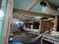 pigeon-for-sale-in-vavuniya-small-1