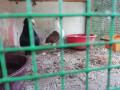 pigeon-for-sale-in-vavuniya-small-2