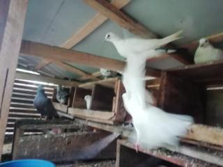 Pigeon for sale in vavuniya
